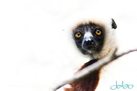 Lemur Brox Zoo